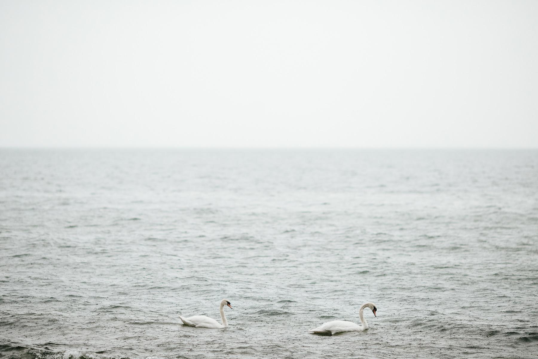 łabędzie na bałtyku